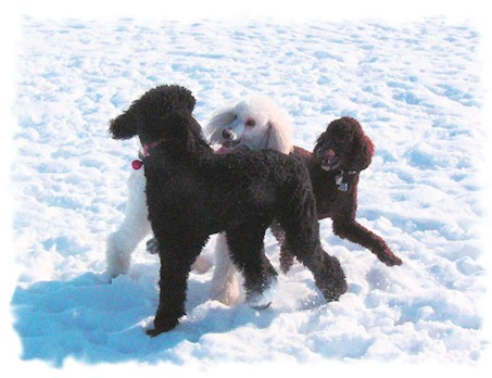 poodles in the snow